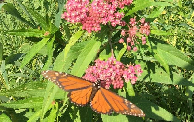 Monarch on Swamp Milkweed - Riverside Road - Photo by Mike Collins - 8-1-2019