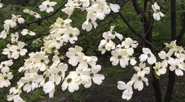 Image Footer - Dogwood Flowers - Collins - 3-11-2021